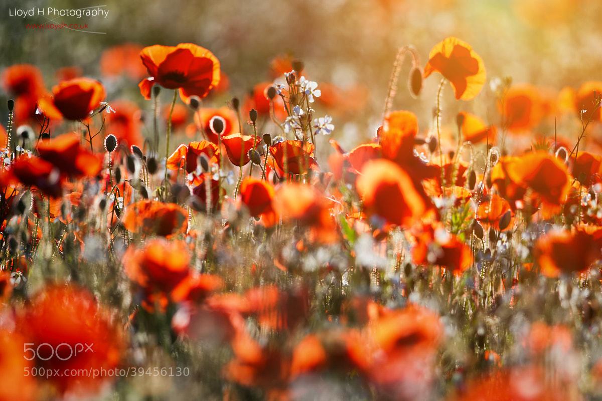 Photograph Poppies Bokeh by Lloyd Horgan on 500px