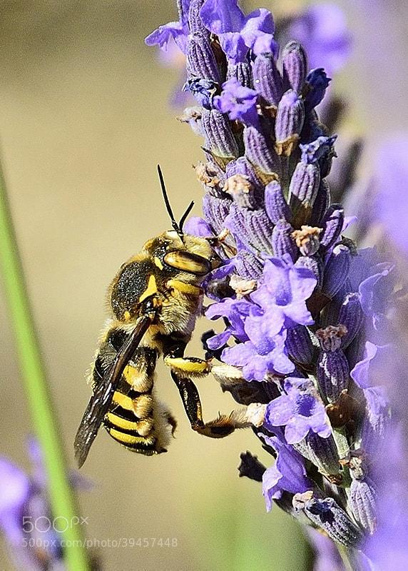 Photograph bzzzzzz... lavandes en fleurs by Jean Louis Pujol on 500px