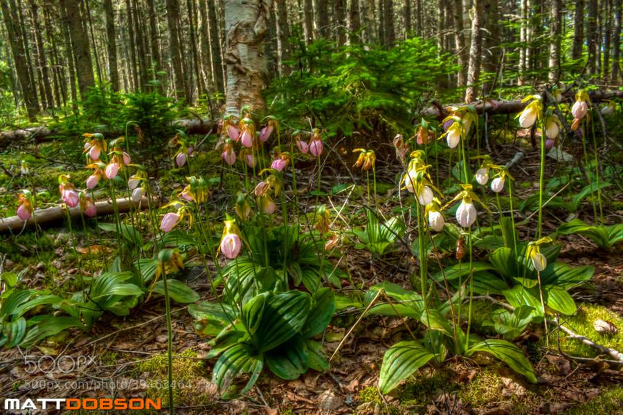 Photograph Lady Slipper Orchids by Matt Dobson on 500px