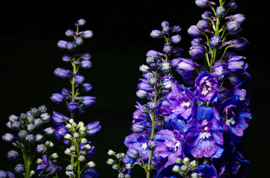 Photograph delphinium by Gunter Werner on 500px