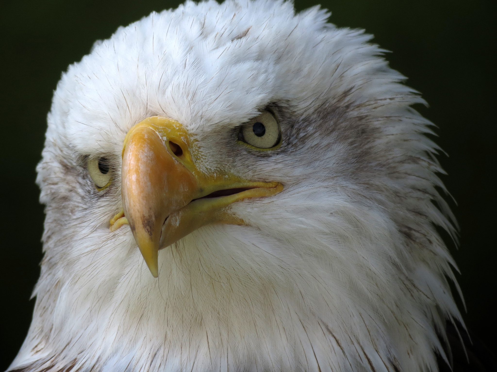 Photograph American bald eagle by Anne Slater on 500px