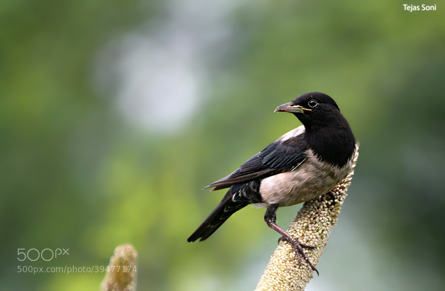 Photograph Rosy starling by Tejas Soni on 500px