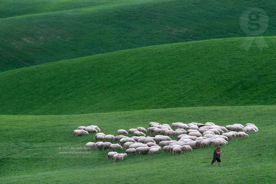 Photograph Sheeps (2005) by michele berti on 500px