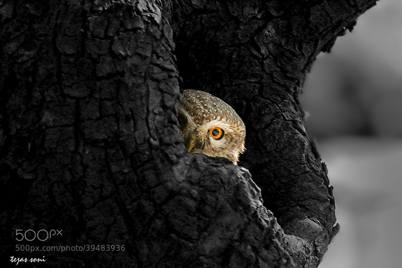 Photograph spotted owlet by Tejas Soni on 500px
