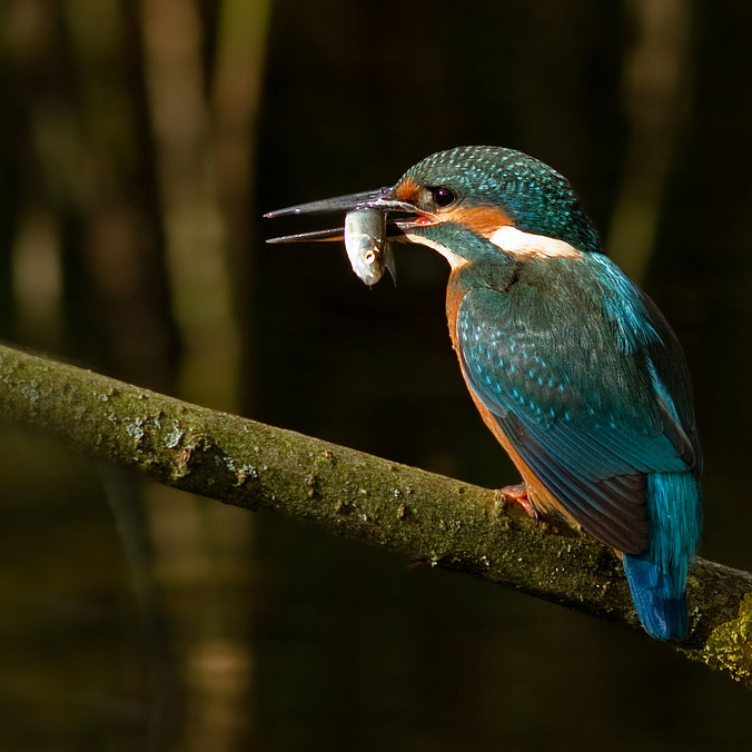Photograph Common Kingfisher by Svend Erik Nørgaard on 500px