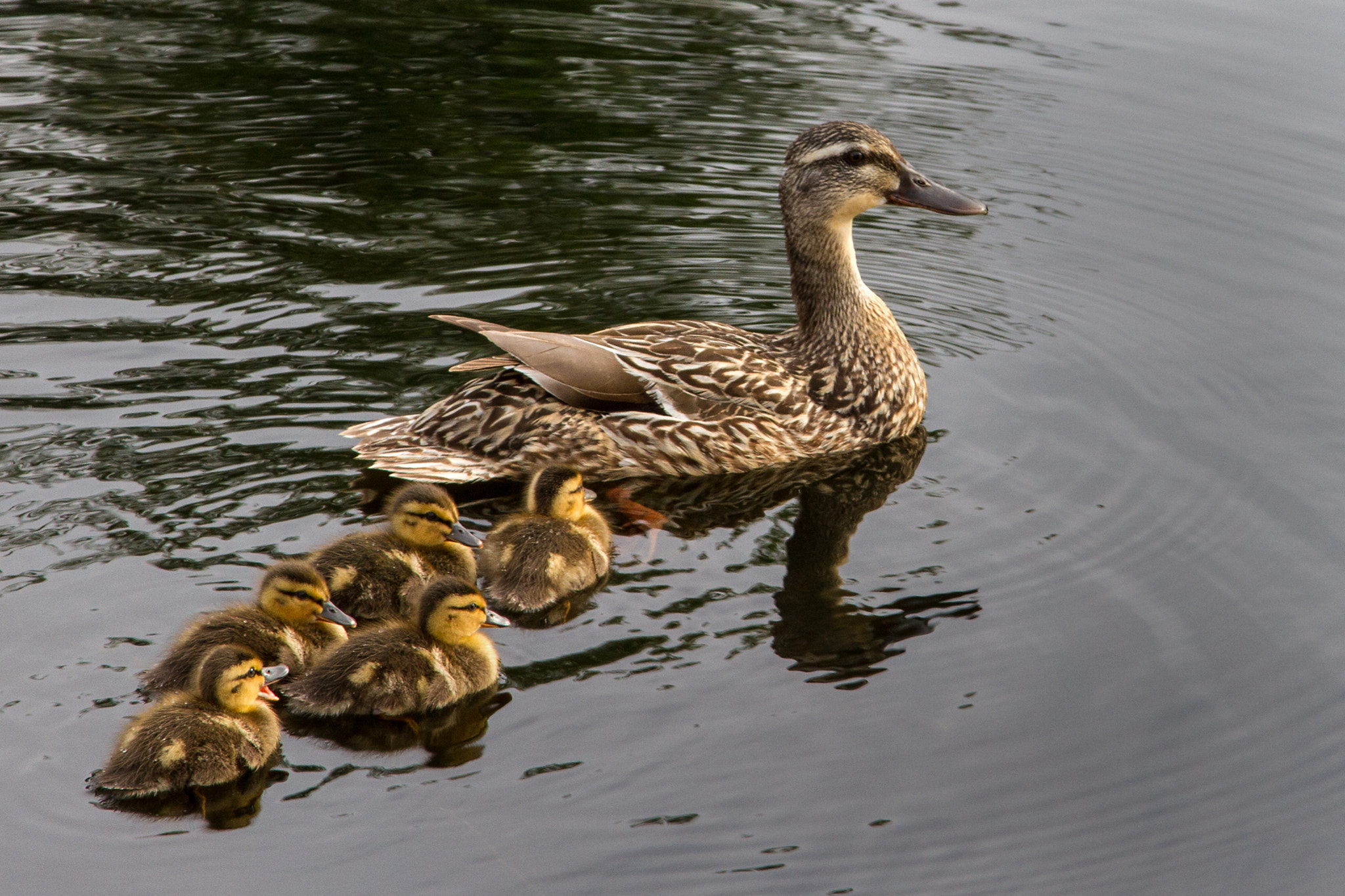 Photograph Five ducklings by Steve Pepple on 500px