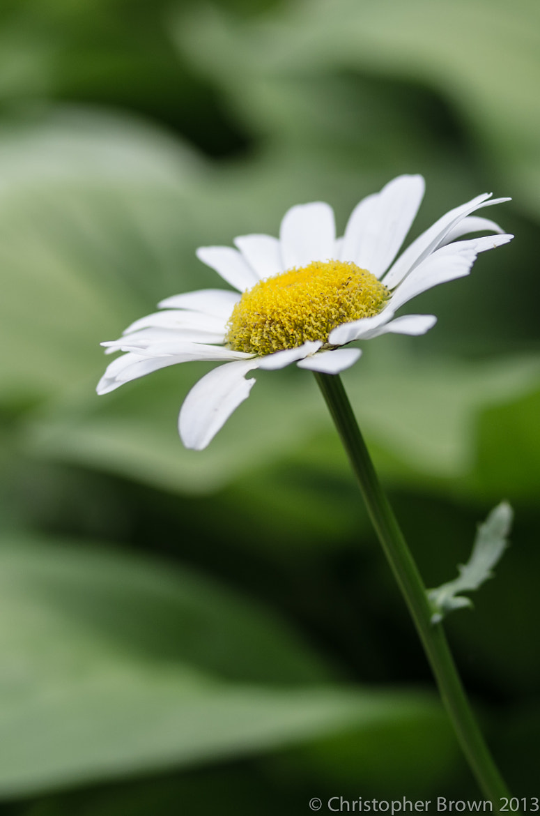 Photograph Daisy in the Sun by Chris B on 500px