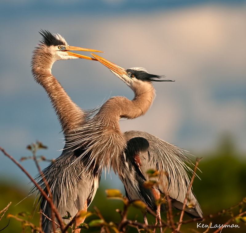 Great Blue Herons have begun their courtship and nesting.  This is from last January