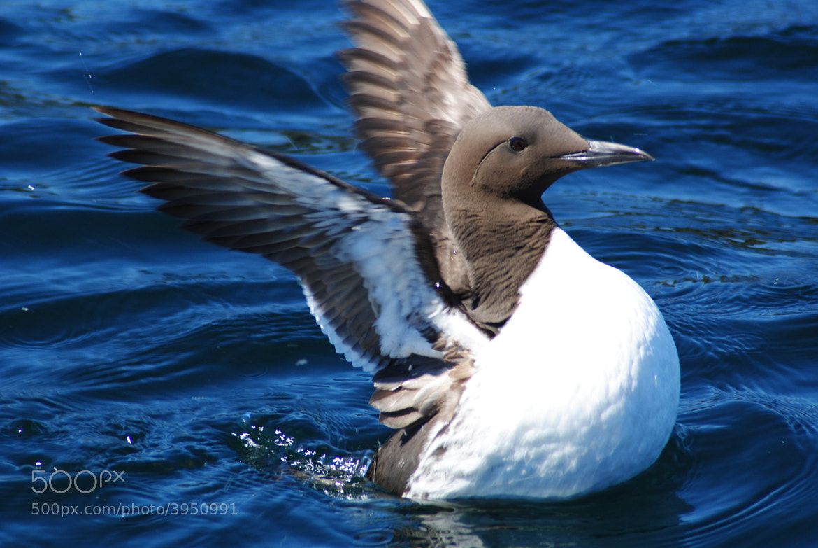 Photograph Guillemot by Andrew Douglas on 500px