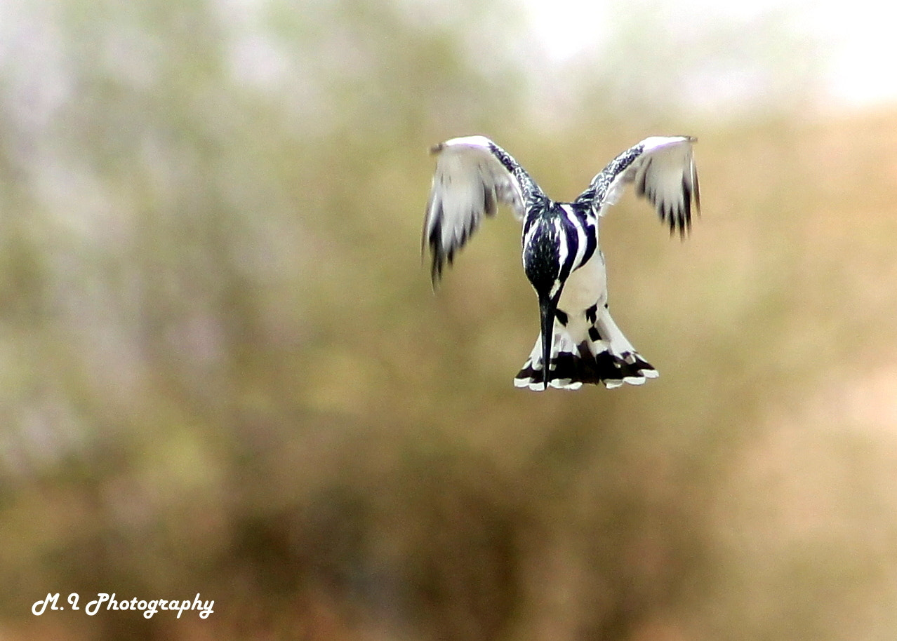Photograph Pied Kingfisher (Ceryle rudis) by Mohamed Ismael on 500px