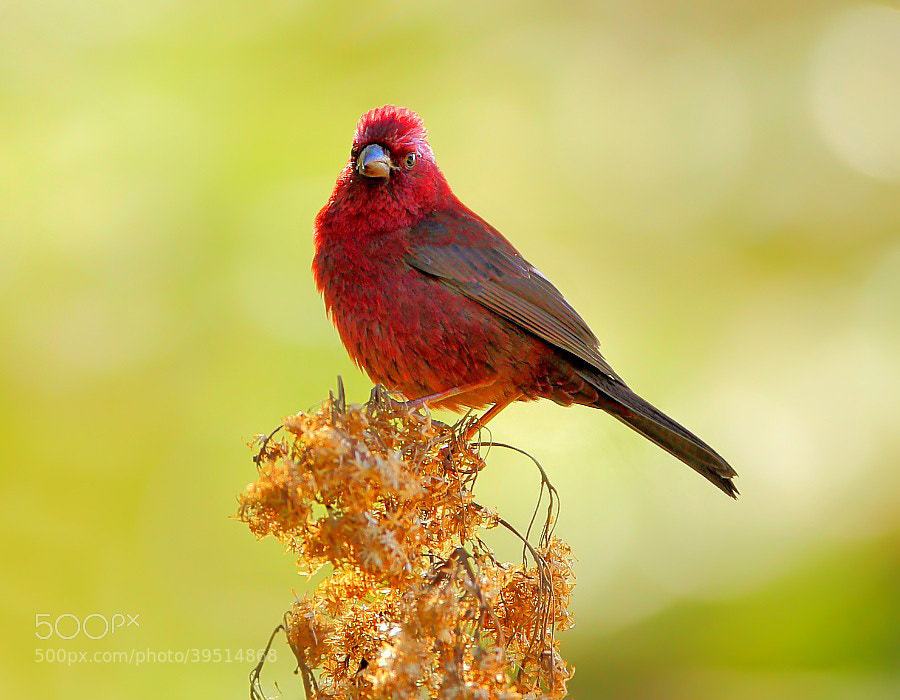 Photograph {Vinacceus Rose Finch} by Dajan Chiou on 500px