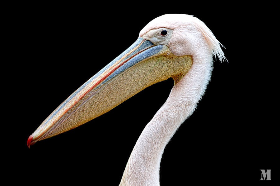 Photograph pelican by Matthias Schulte on 500px