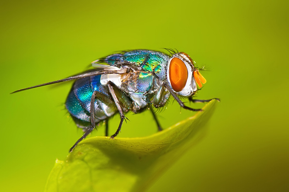 Photograph Fluorescent Fly by Nitin  Prabhudesai on 500px