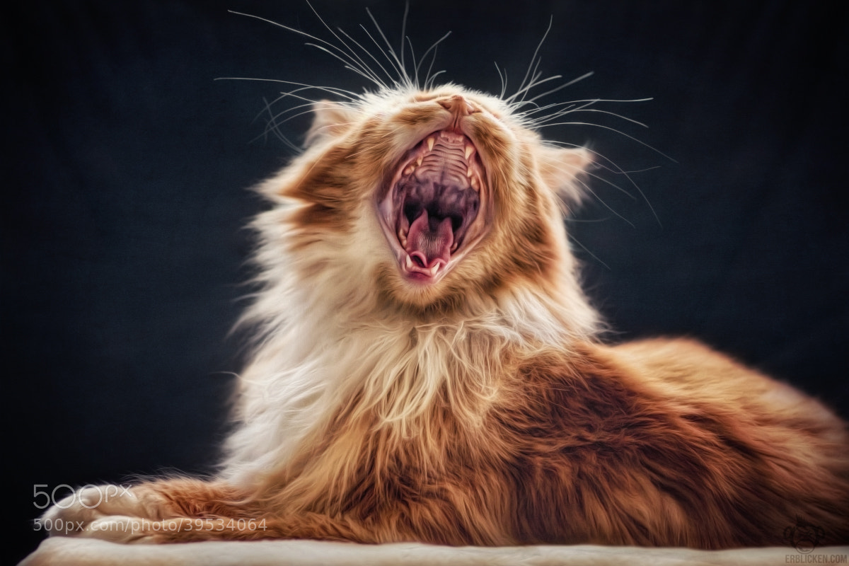 Photograph Well roared, lion by Manuela Kulpa on 500px