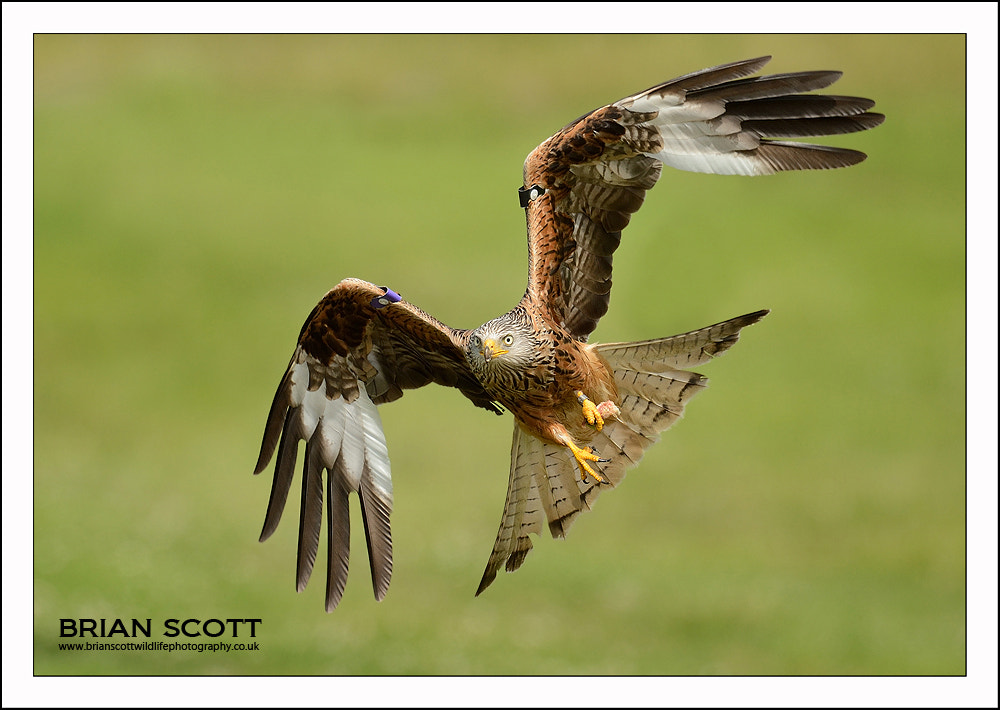 Photograph Red Kite by Brian Scott on 500px