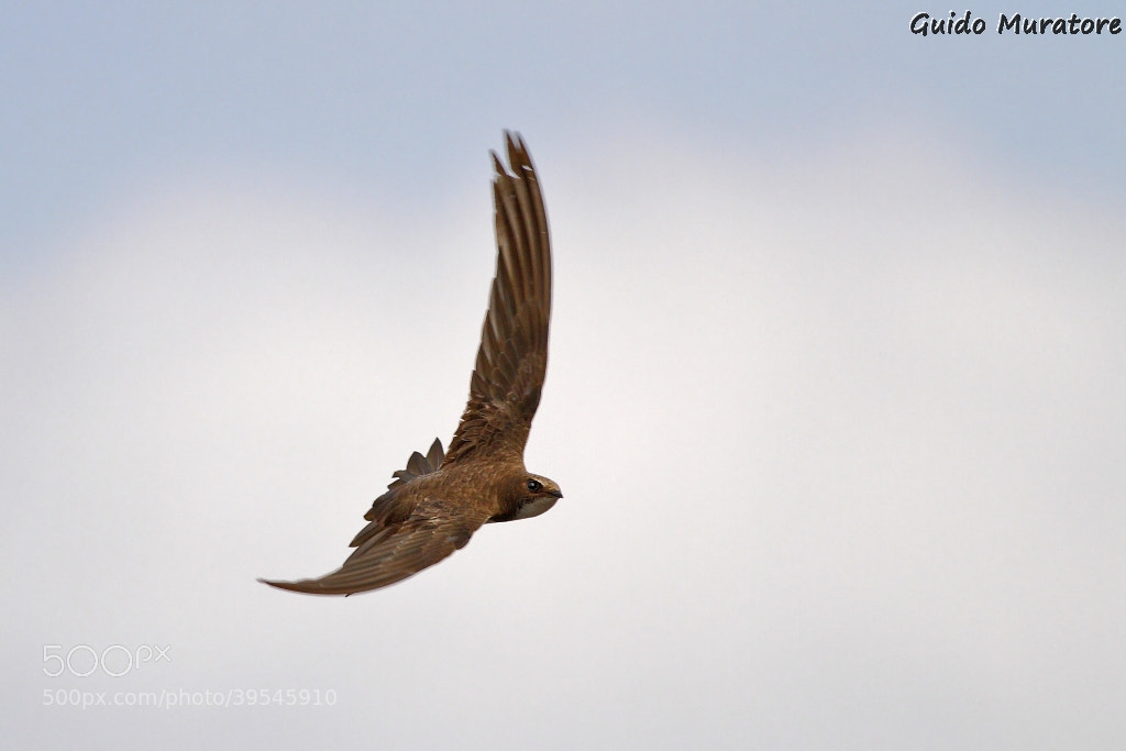 Photograph Common Swift by Guido Muratore on 500px