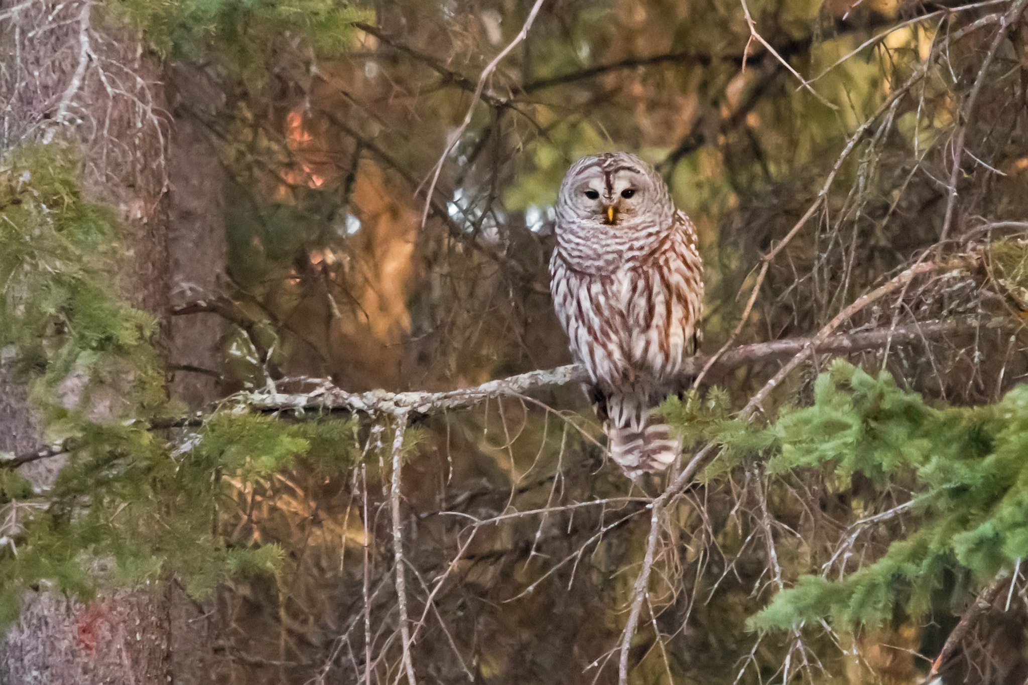 Photograph Barred Owl by Raymond Lee on 500px