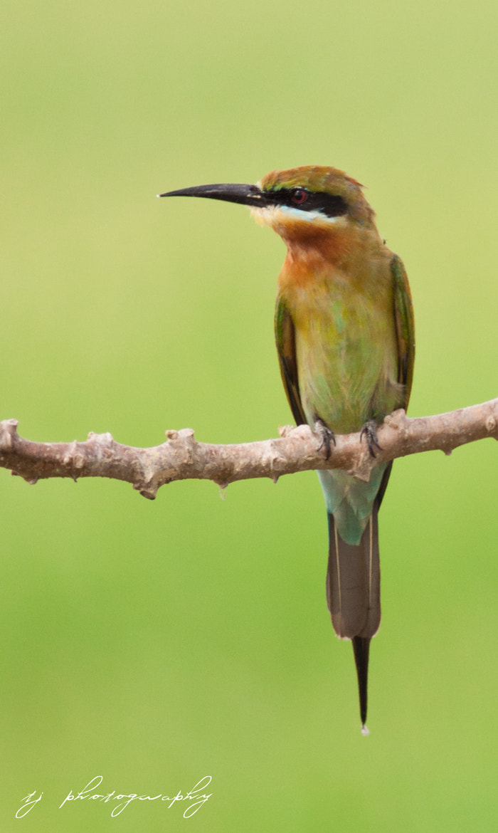 Photograph Blue tailed bee eater by Ting Teck Jong on 500px