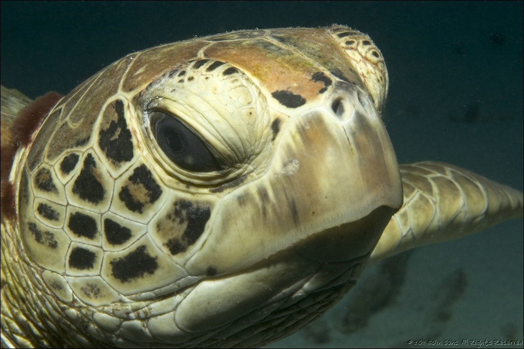 Photograph Green Turtle, Coral Sea by Colin Gans on 500px