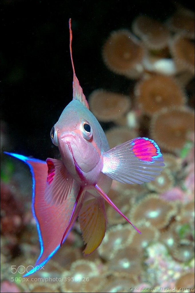 Photograph Anthias, Bligh Water, Fiji by Colin Gans on 500px
