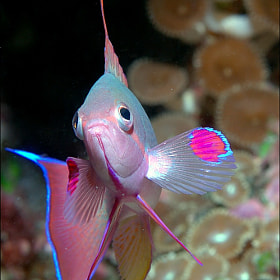 Anthias, Bligh Water, Fiji by Colin Gans (colingans)) on 500px.com