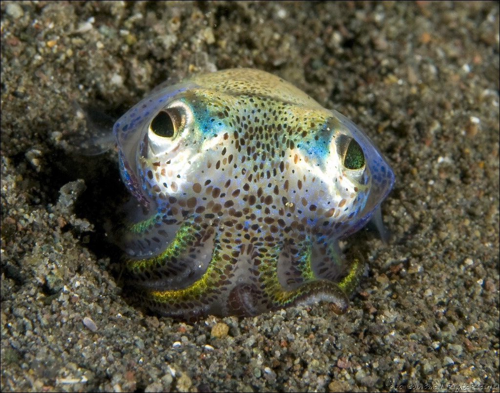 Photograph Bobtail squid, Komodo, Indonesia by Colin Gans on 500px