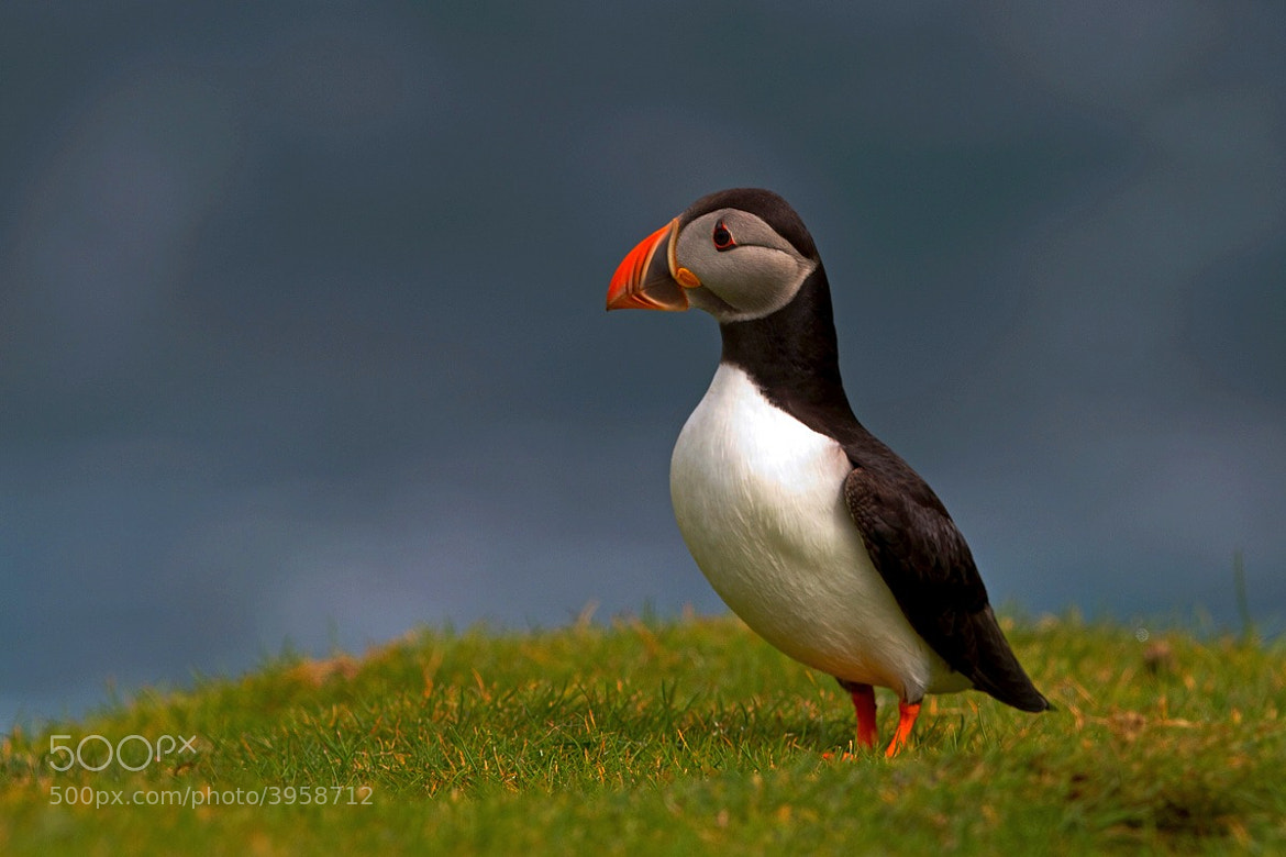 Photograph Puffin by Svend Erik Nørgaard on 500px