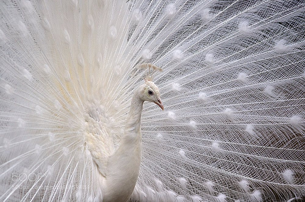 Photograph white as snow, regal, like a peafowl by Stefano Ronchi on 500px