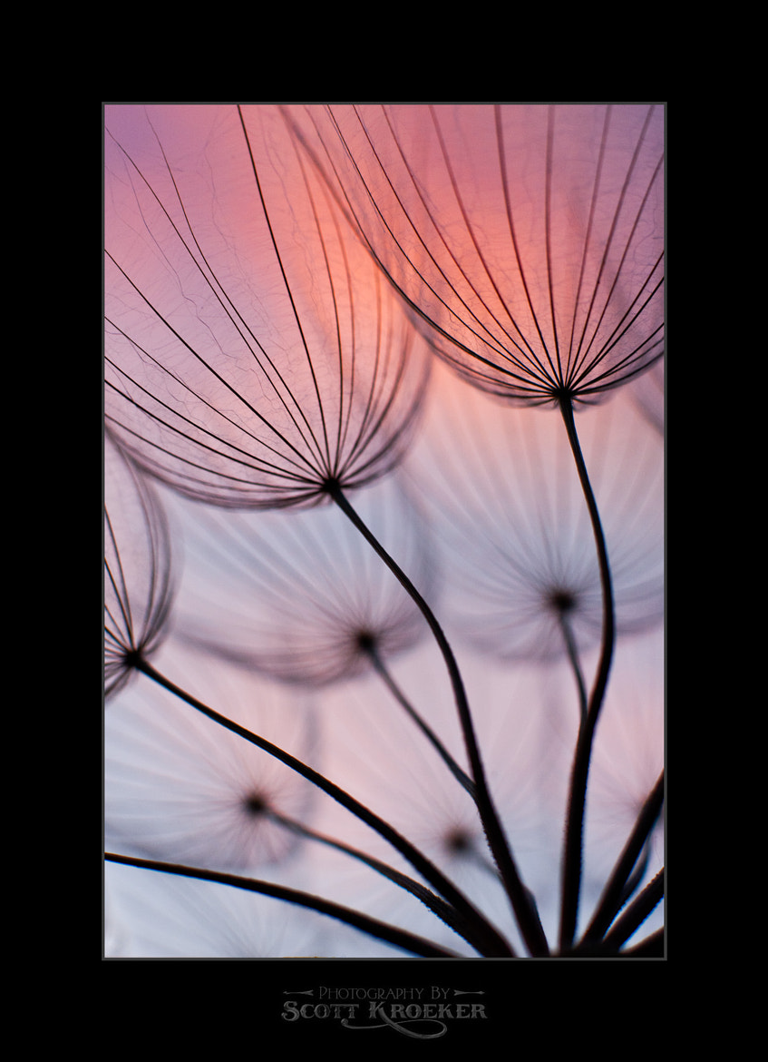 Photograph Tragopogon by Scott Kroeker on 500px