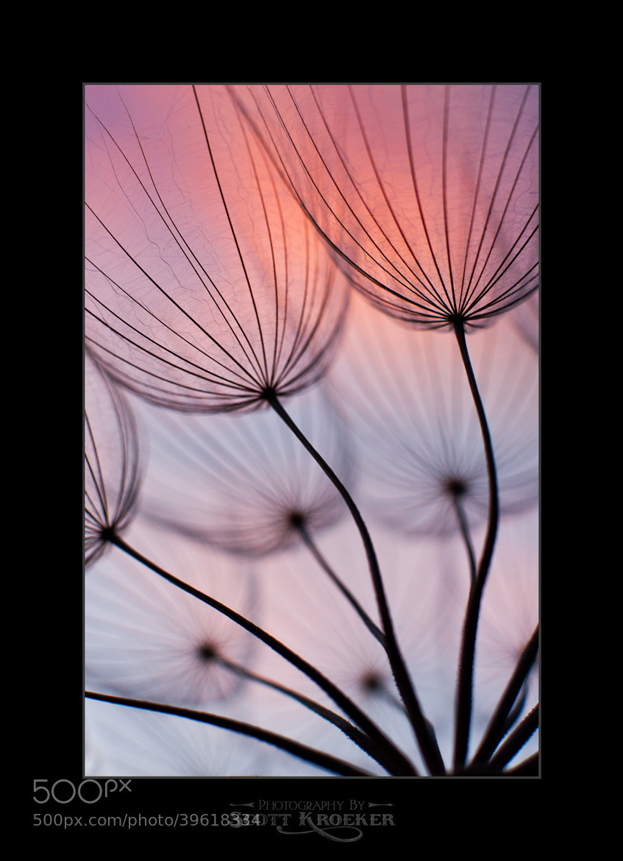 Photograph Tragopogon by Scott Kroeker on 500px