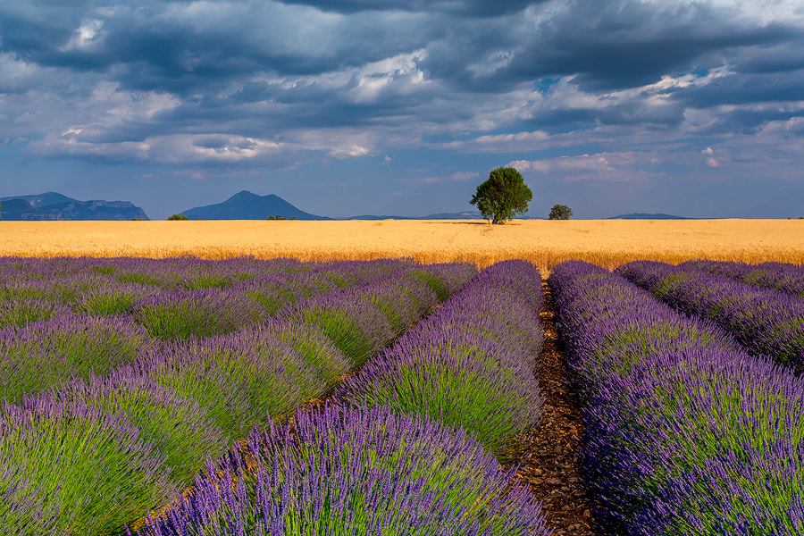 "Photograph ""Valensole Lavender & Wheat"" by Jim Nilsen on 500px"