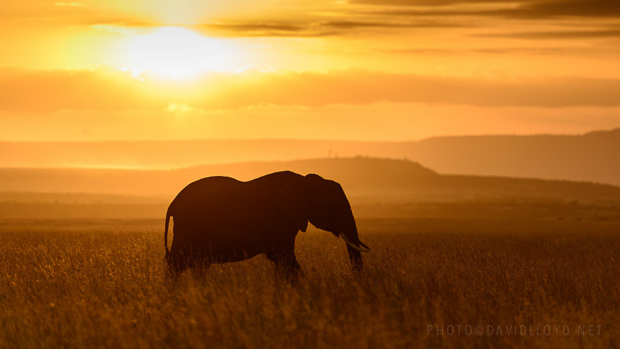 Photograph Elephant at Sundown by David Lloyd on 500px