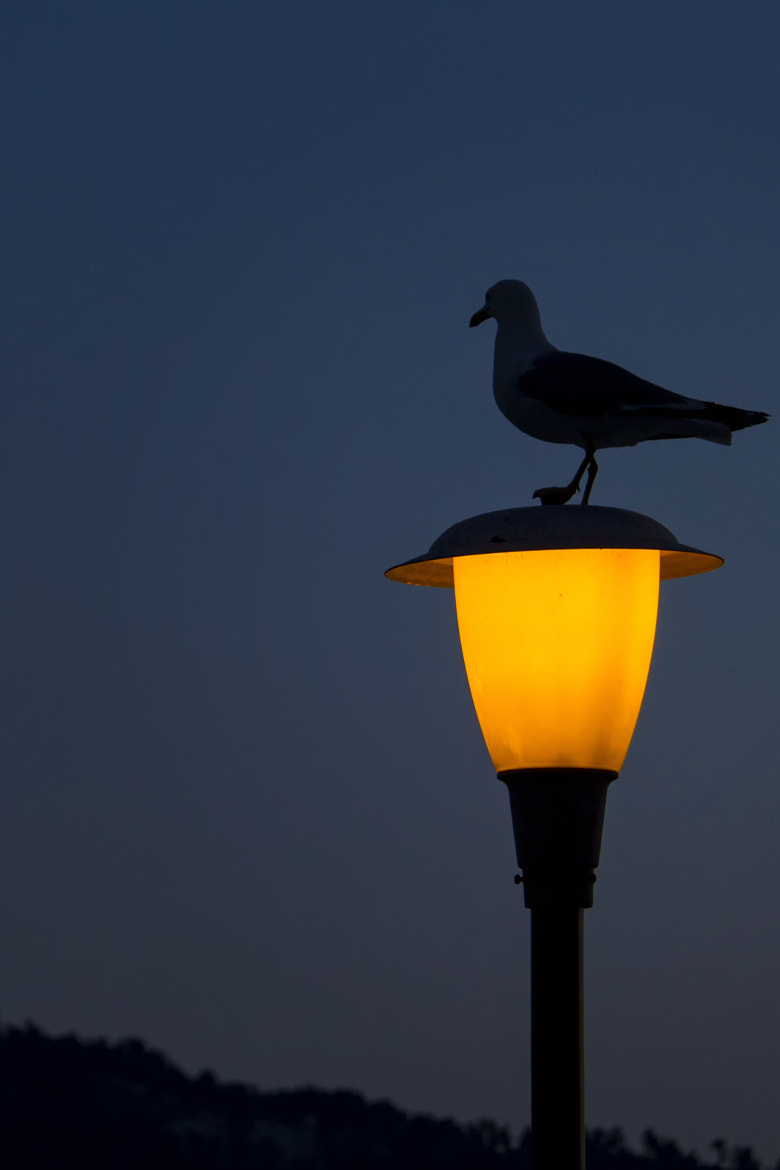 Photograph The seagull and the light by Cristian Barleanu on 500px