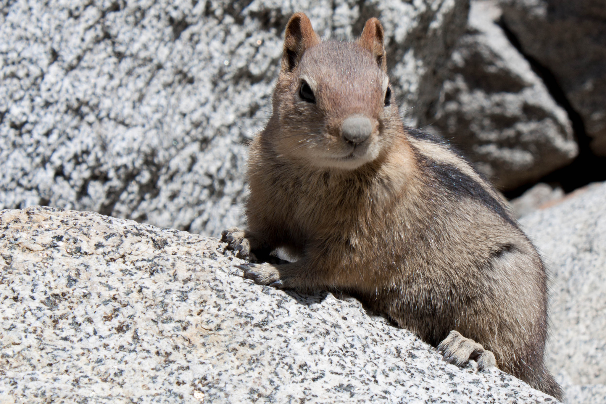 Photograph Ground Squirrel, Lake Tahoe by Carl Mickleburgh on 500px