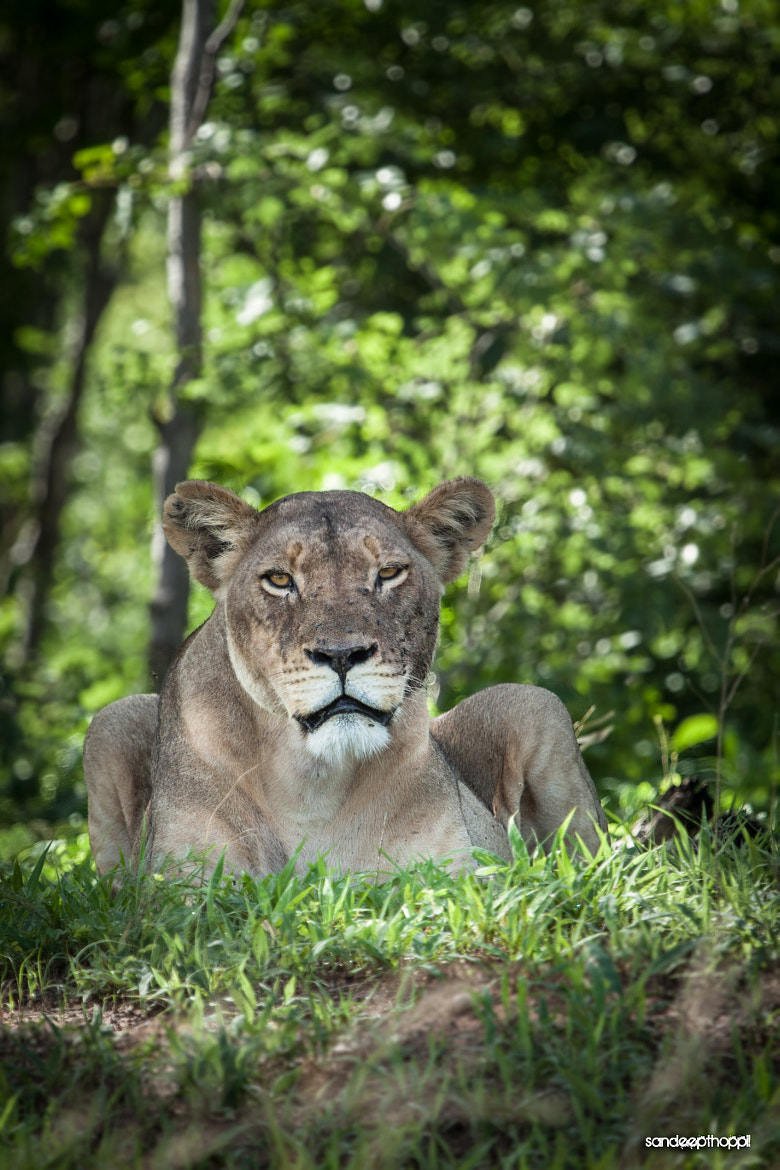 Photograph Lioness of Serondela by Sandeep Thoppil on 500px
