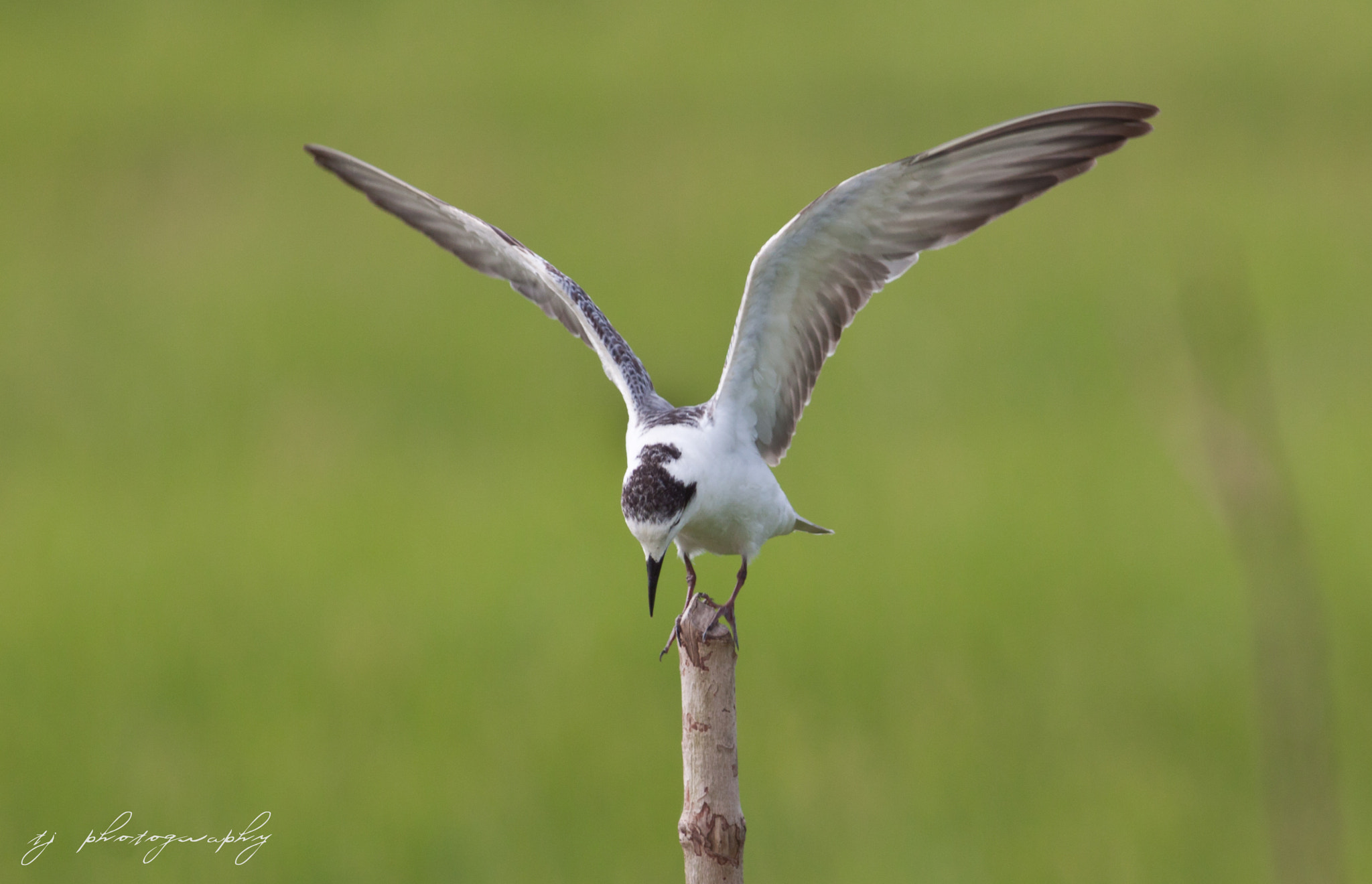 Photograph Bow! white winged tern by Ting Teck Jong on 500px
