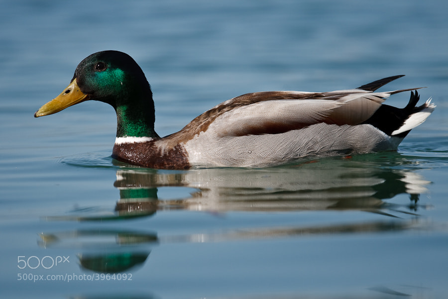 Photograph Duck by Marco Schmidt on 500px