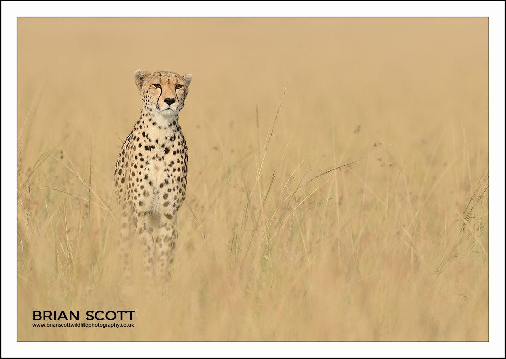 Photograph Cheetah by Brian Scott on 500px