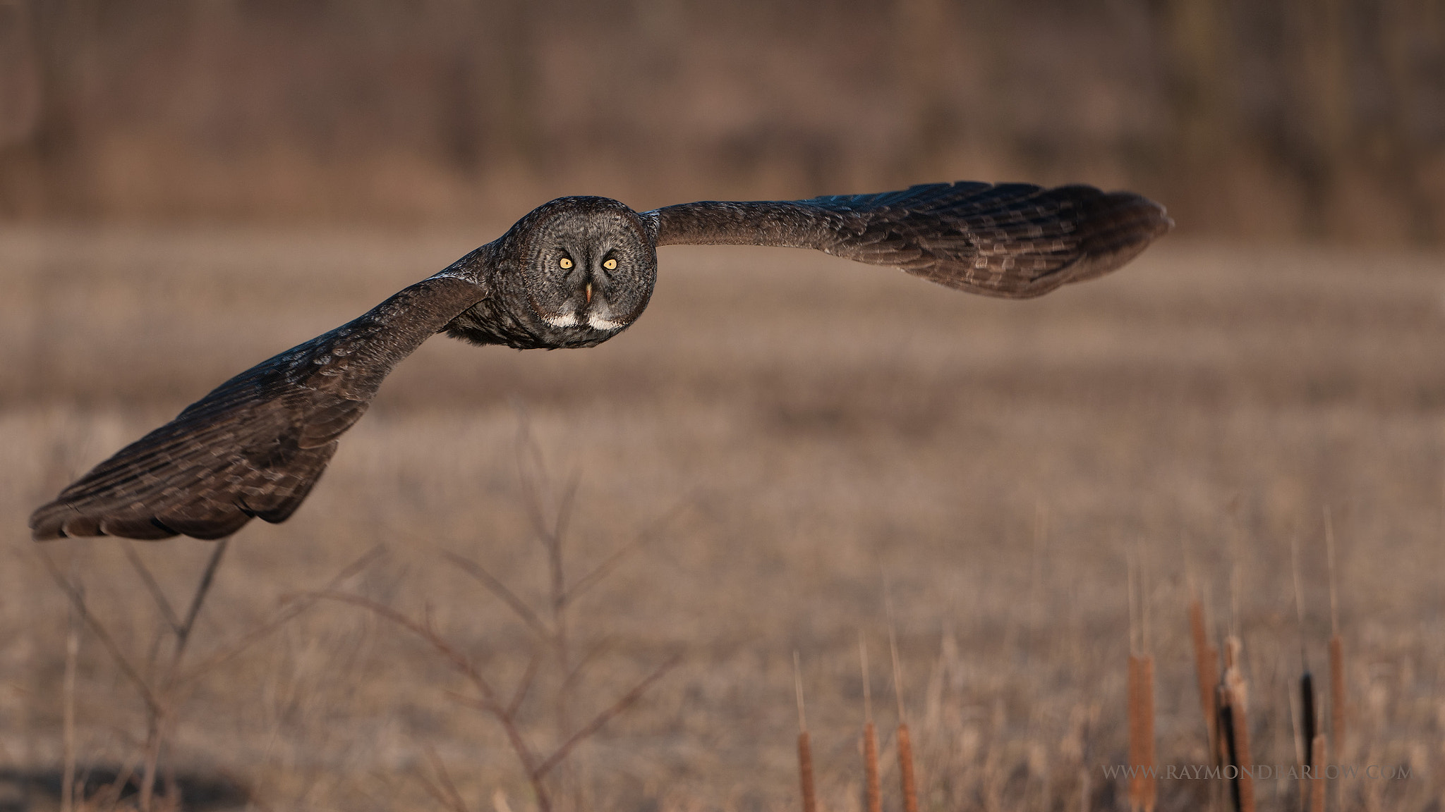 Photograph Wild Great Gray Owl by Raymond Barlow on 500px