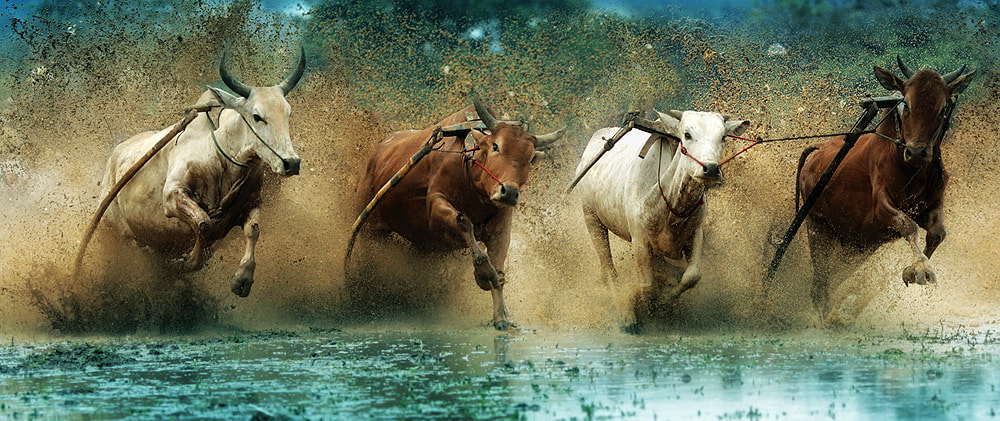 Photograph cow race by asit  on 500px