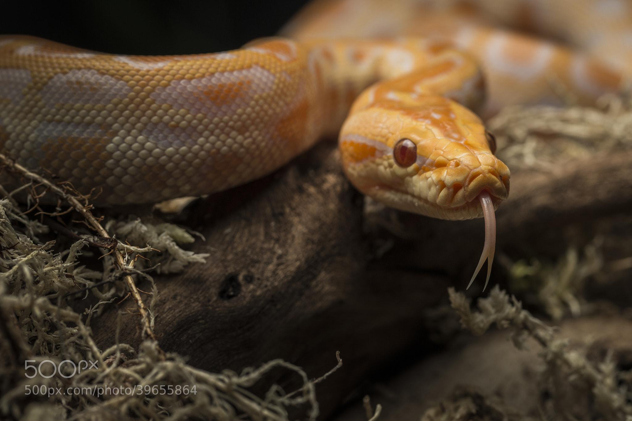 Photograph Albino Burmese Python by Yousef Zaman on 500px