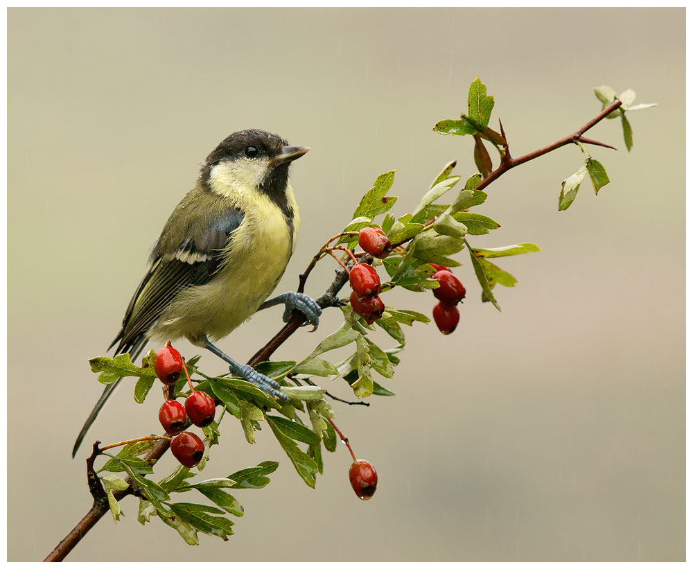 Photograph Young Great Tit by Geoffrey Baker on 500px