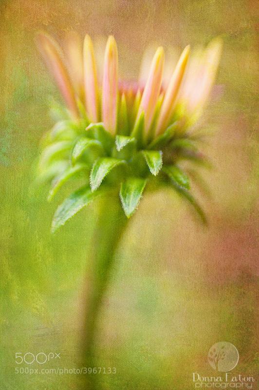 Coneflower (Echinacea) Bud