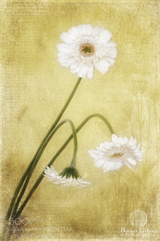 Three white gerbera daisies on texture