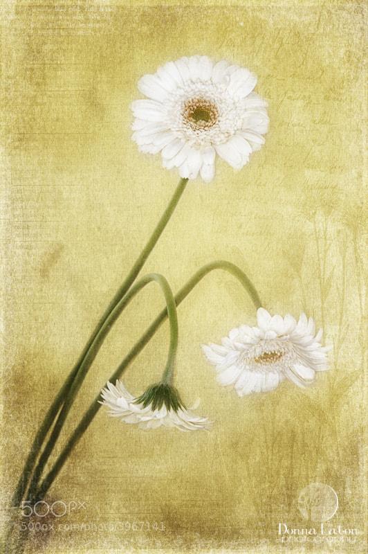 Three white gerbera daisies on texture