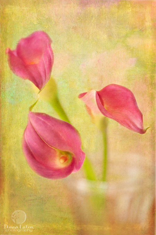 Three pink Calla lilies with texture