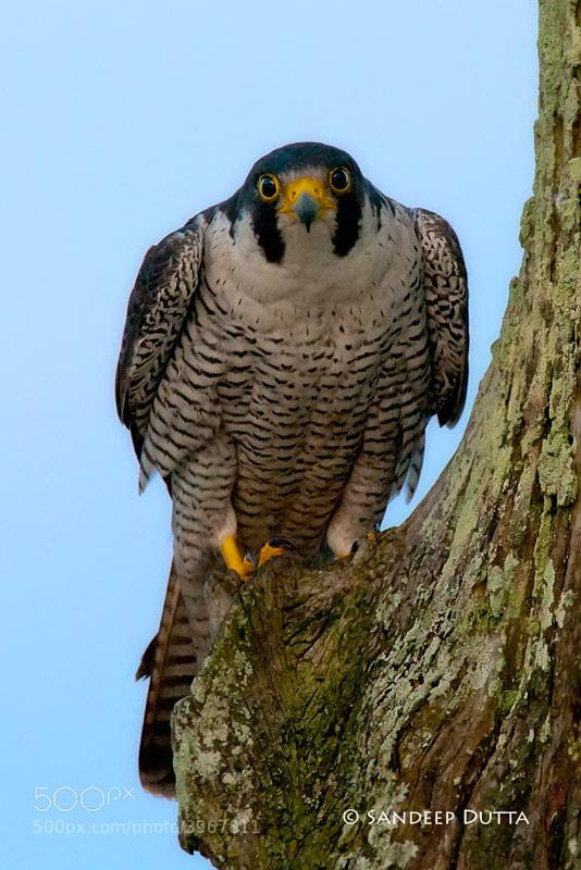Photograph Peregrine Falcon by Sandeep Dutta on 500px