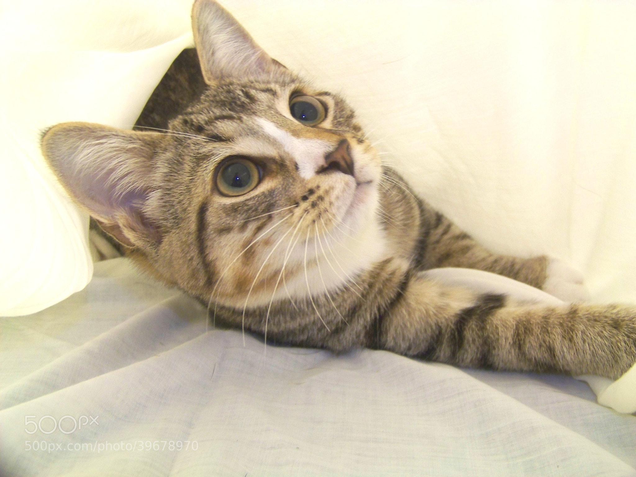 Photograph Precious Tabby Cat by Gita Goodwin on 500px