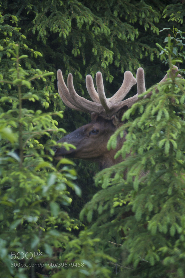 Photograph Nosy Elk by Rose Smith on 500px
