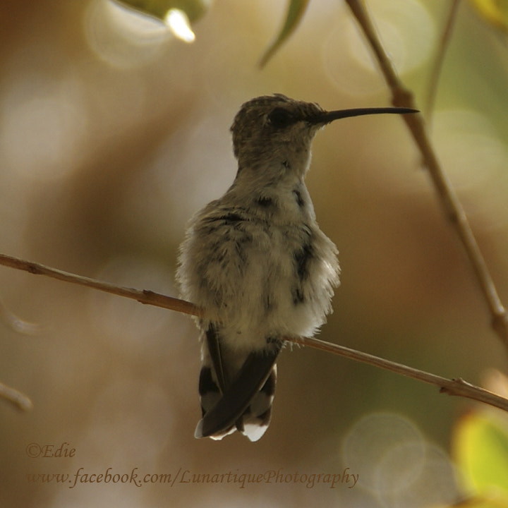 Photograph Hummingbird by Edie G. on 500px